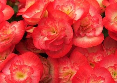 Reiger Begonias