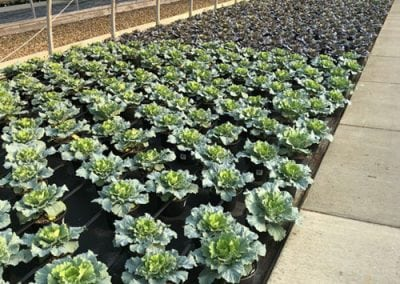 Flowering Cabbage & Kale