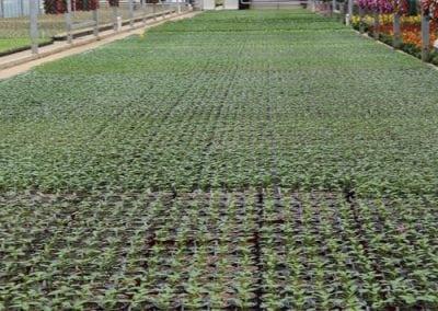 Vegetable Flats