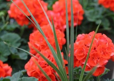 Zonal Geraniums